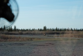 Moose on the Runway!